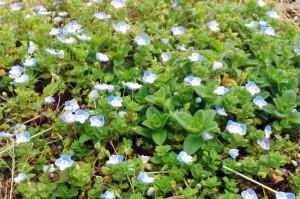 芝生の小さな花-さいたま市大和田公園