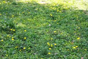 くつろぐカモ-さいたま市緑区、見沼自然公園