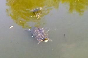 池の亀-さいたま市大宮区の合併記念見沼公園